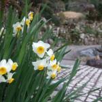 冬、境内のあちこちで水仙が咲きます。崋山場に咲く水仙です。