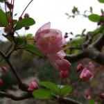 玄関前に咲く海棠。40年ほど前に姉が職場に来た苗屋から購入した木です。