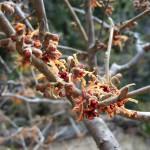 「崋山場」で一番早く芽き吹き紅葉します。花が咲く頃には春の訪れを感じます