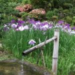 菖蒲の咲く頃、同朋の会で庭を愛でながらお茶会をしています。