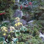 昔、造成した折りに出たでた砂岩を積みあげた「崋山場」に咲いていました。
