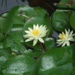 日当りの悪い本堂脇の池に咲く睡蓮です。よく咲いてくれました。
