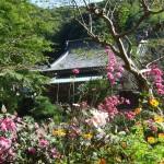 本堂前の池のほとりに秋明菊が生い茂るほど咲きました。