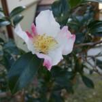 「さざんかさざんかさいたみち たきびだたきび…」の山茶花が境内で咲きます