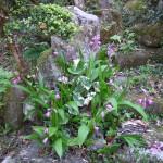 ご門徒の手植えで、毎年、本堂前の花壇や第二墓地で可憐な花を咲かせます。