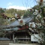 暖かかった正月から咲いています。