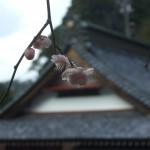 当寺では「しだれ梅」と呼んでいます。