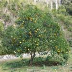 第二墓地にある夏蜜柑の木です。時々、猿が皮をむいて食べます。