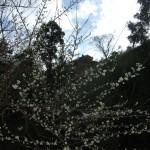 墓地に咲く白梅。山上は飛び石