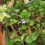 小さな紫色の花を咲かせた野草がありました。