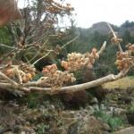 崋山場のマンサク、去年の葉を残したままつぼみがふくらみ始めました。