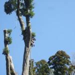 墓地斜面高木倒壊防止のため、専門の方に枝払いをしていただきました。