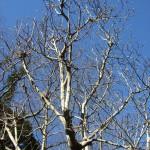 一見、枯れ木のようですが、春に備えて蕾が育っています。