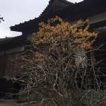 早春に咲くことから、「まず咲く」「まんずさく」が東北地方で訛ったものともいわれている。