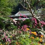 2011_1024しゅうめい菊0005